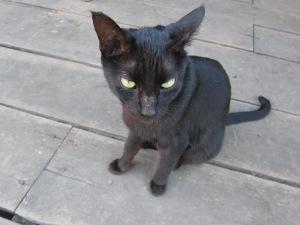 Monastic Cat.