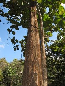 Grownup teak tree.