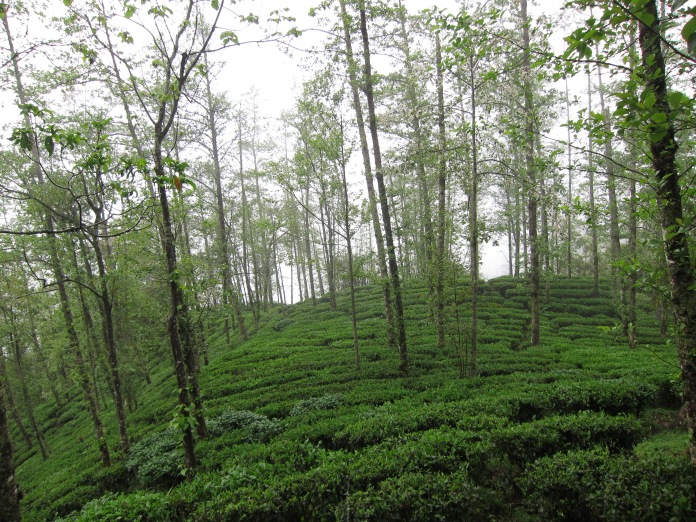 Tea bushes.