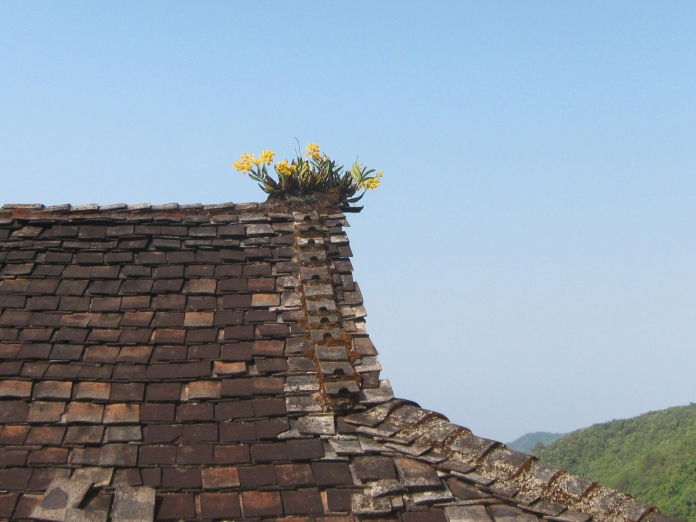 Growing orchids on the roof of this village home.